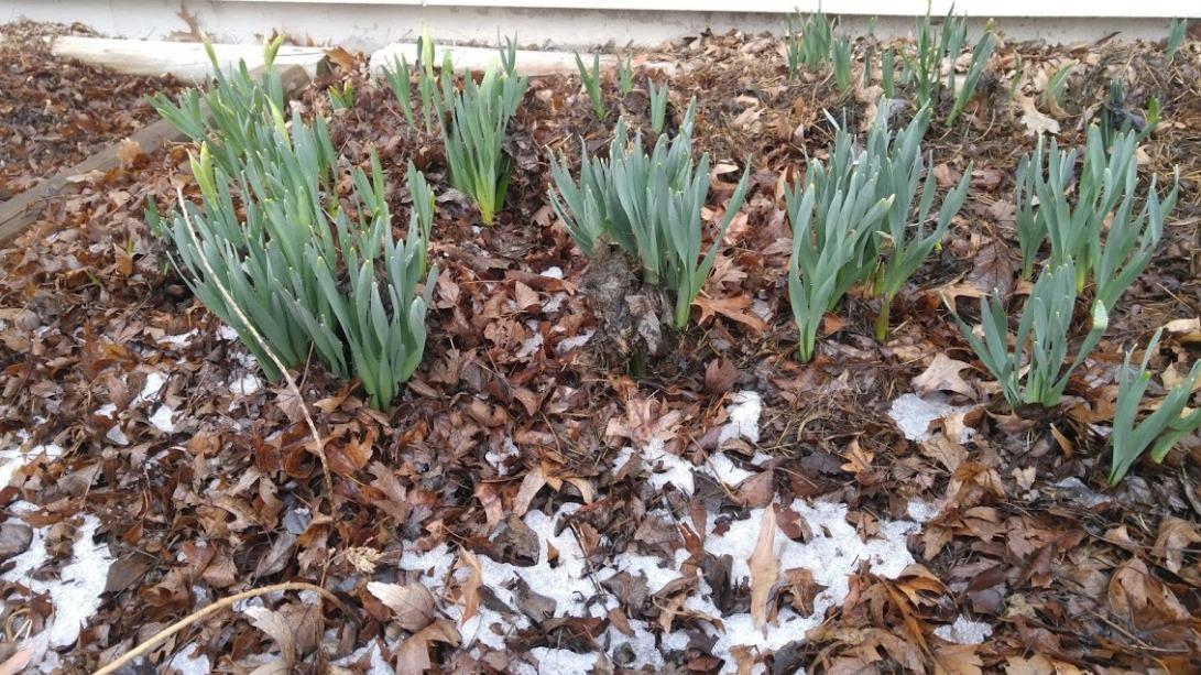 daffodils 2.21.18
